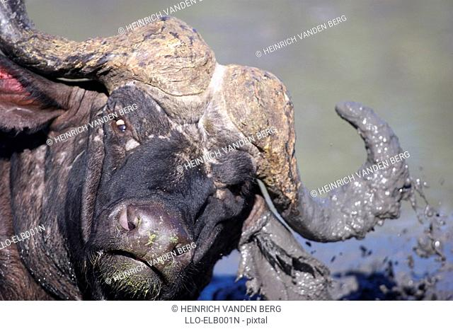 Buffalo Syncerus caffer Taking a Mud Bath  Sabi Sands Conservancy, Mpumalanga Province, South Africa
