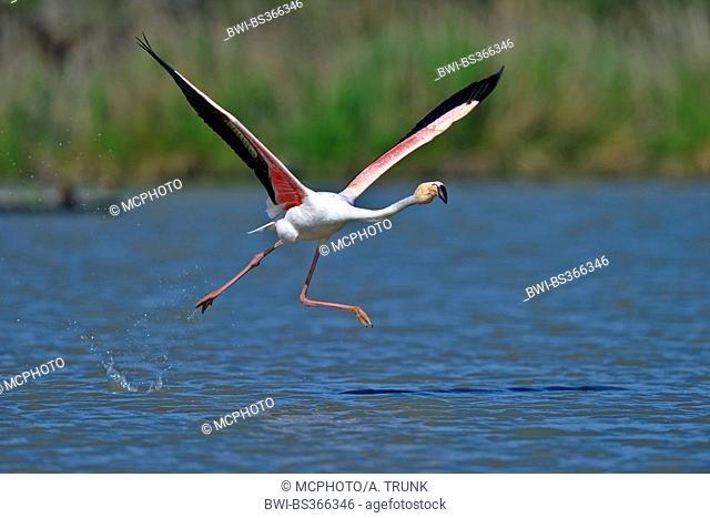Greater flamingo, American flamingo, Caribbean Flamingo (Phoenicopterus ruber ruber), flying off, USA, Florida, Everglades National Park