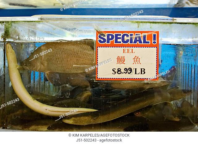 Massachusetts, Boston, Chinatown district in city, interior of grocery store specializing in Asian foods, eel and fish swimming in tank