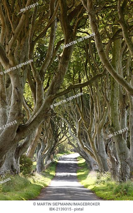 Dark Hedges, an avenue of Beech trees, Bregagh Road near Armoy, County Antrim, Northern Ireland, Great Britain, Europe