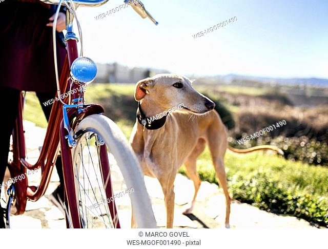 Young woman with bicycle and greyhound