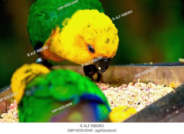 Park Aves; Jandaya parakeet; Aratinga Jandaya; Foz do Iguaçu; Paraná; PR; Brazil