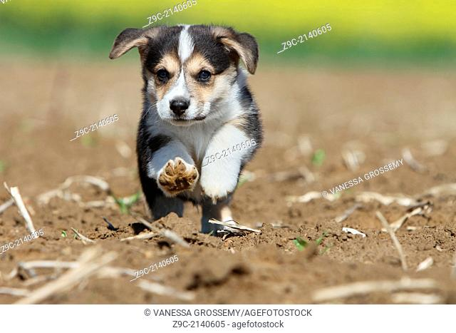 Dog Pembroke Welsh corgi /