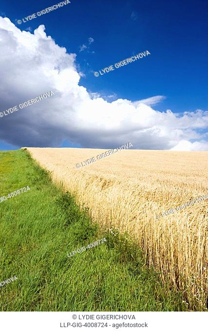 Cornfield, Hodonin district, South Moravia, Czech Republic, Europe