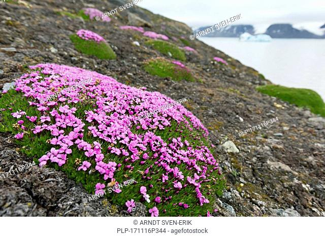 Moss campion / cushion pink (Silene acaulis) in flower in summer on the arctic tundra, Svalbard / Spitsbergen, Norway