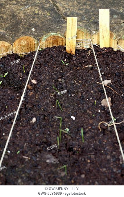 VEGETABLE GROWING IN SMALL SPACES IN SUBURBAN GARDEN - LEEKS