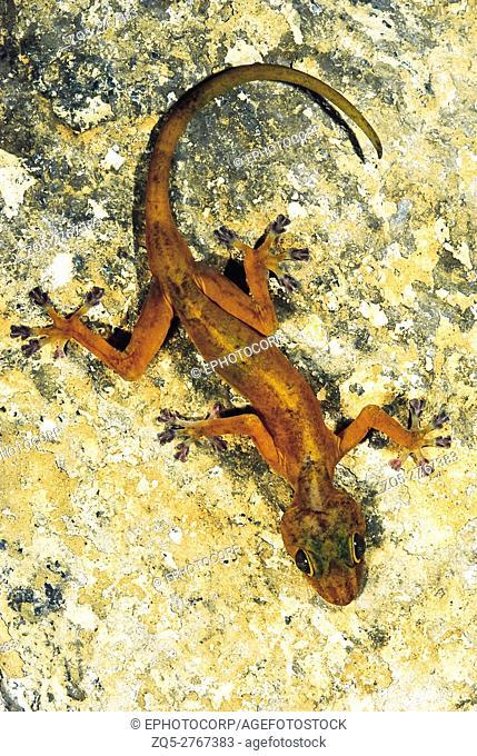 Calodactylodes Aureus. Golden gecko. Endandered species. Western India