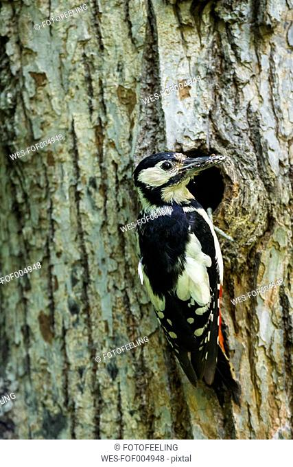Germany, Bavaria, Great Spotted Woodpecker on tree trunk, close up