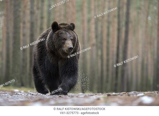 Brown Bear ( Ursus arctos ) walking over wet ground, in front of a boreal forest, impressive encounter, frontal shot, low point of view, Europe