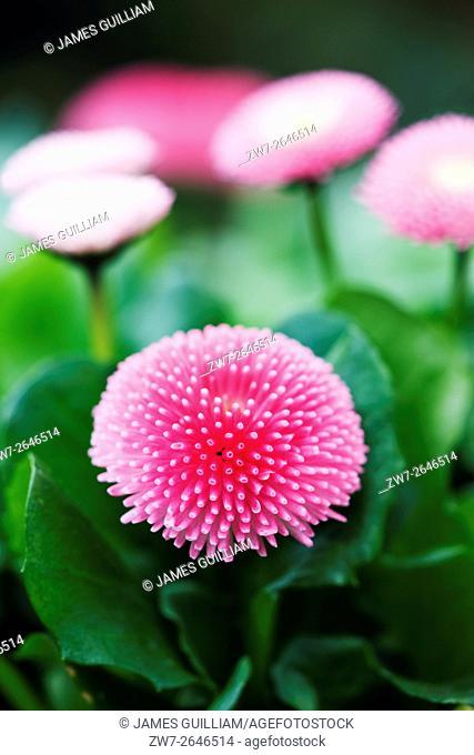 Bellis perennis variety Bellissima Rose