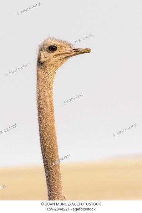 Ostrich foreground (Struthio camelus). Etosha National Park. Namibia. Africa