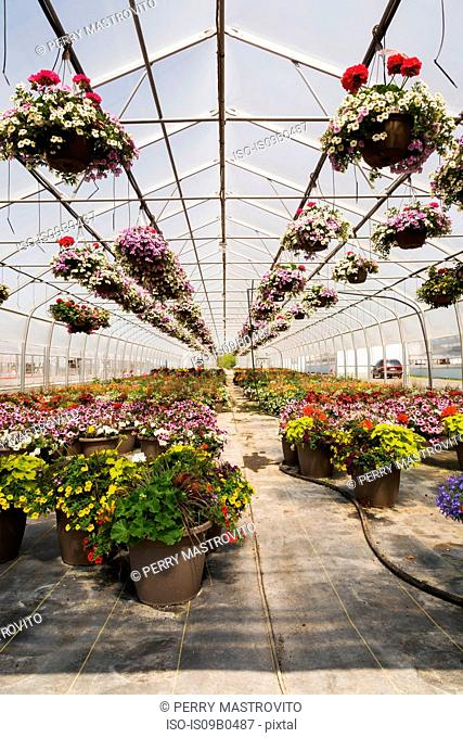 Commercial greenhouse with rows of mixed flowering plants - Petunias in hanging baskets, red Pelargonium and Geraniums in containers