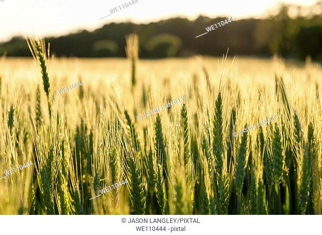 View over a wheat field growing on a small organic farm in rural France in late spring  Warm Light from afternoon sun  La Creuse, Limousin, France