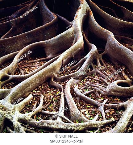 The roots of a Banyan tree spread across the ground
