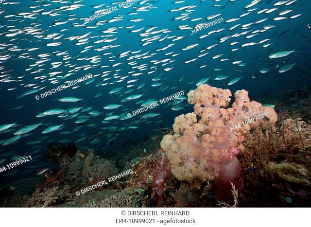 Mosaic Fusiliers over Coral Reef, Pterocaesio tesselata, Raja Ampat, West Papua, Indonesia