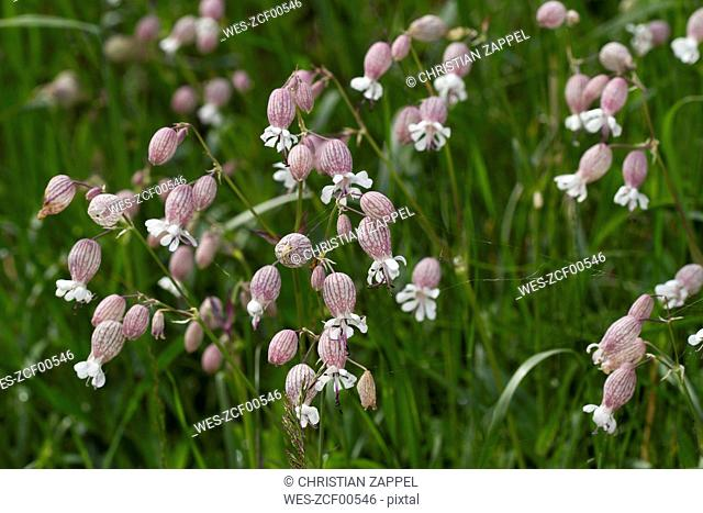 Austria, Upper Tauern, Bladder Campion