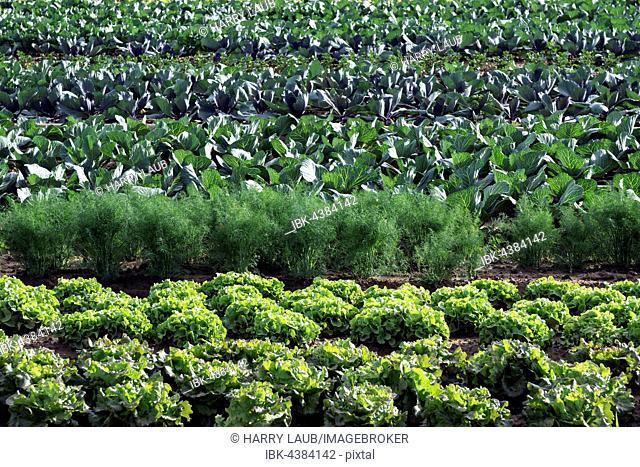 Vegetable field, lettuce, fennel, cabbage, Baden-Württemberg, Germany