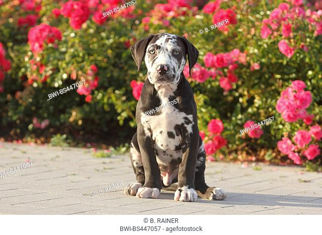 mixed breed dog (Canis lupus f. familiaris), ten weaks old Great Dane Perro de Presa Canario mixed breed whelp sitting in front of dog roses, Germany