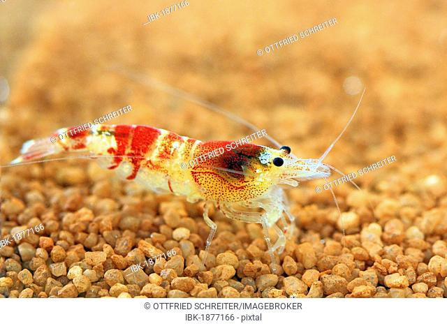 Colourful freshwater shrimp, Crystel Red