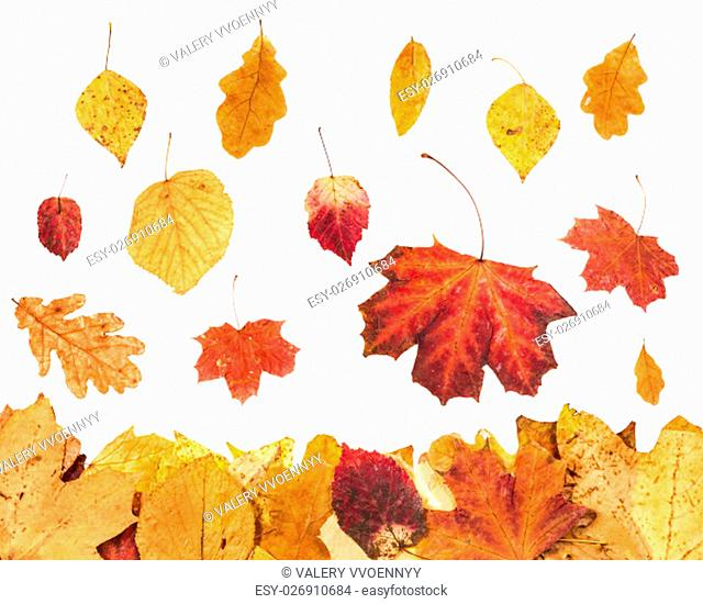 autumn season - falling red and yellow leaves and leaf litter below isolated on white background