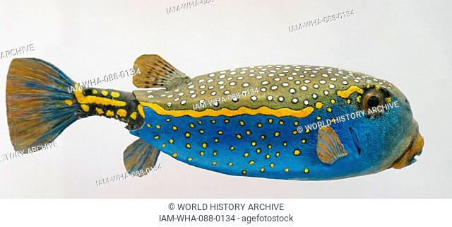 Model of a Blue Boxfish, (Ostracion meleagris) is a species of boxfish. Dated 21st Century
