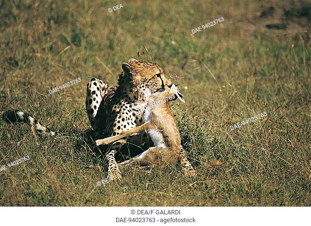 Zoology - Mammals - Felidae. Cheetah (Acinonyx jubatus) with prey. Kenya, Masai Mara National Reserve