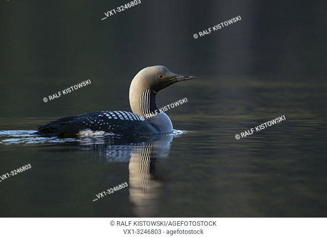 Black-throated Loon / Arctic Loon / Prachttaucher ( Gavia arctica ), swimming, one adult in its breeding dress, detailed side view, morning light
