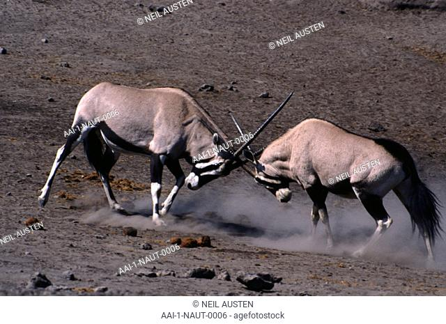 Herd of Gemsbok, Kgalagadi Transfrontier Park, Northern Cape, South Africa