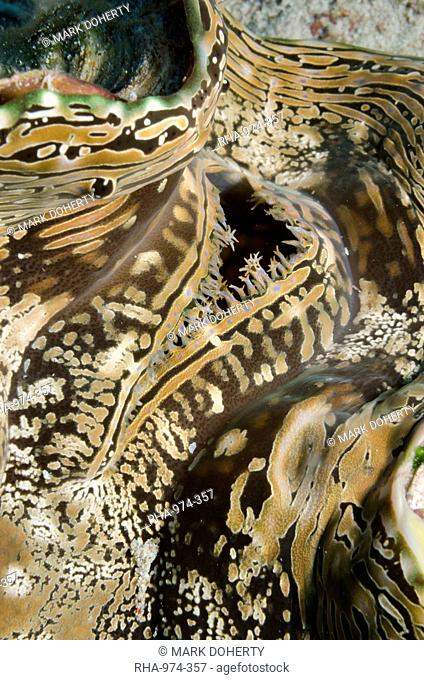 Common giant clam (Tridacna maxima) macro, Ras Mohammed National Park, off Sharm el-Sheikh, Sinai, Red Sea, Egypt, North Africa, Africa