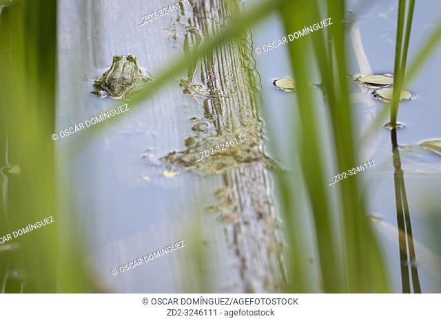 Marsh Frog (Pelophylax ridibundus) in pond habitat. Latvia