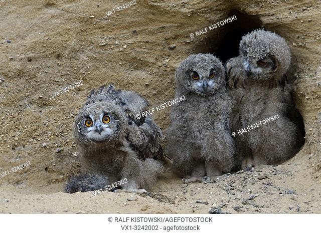Eurasian Eagle Owls ( Bubo bubo ), young siblings, together at the entrance of their nest burrow, curious, funny, wildlife