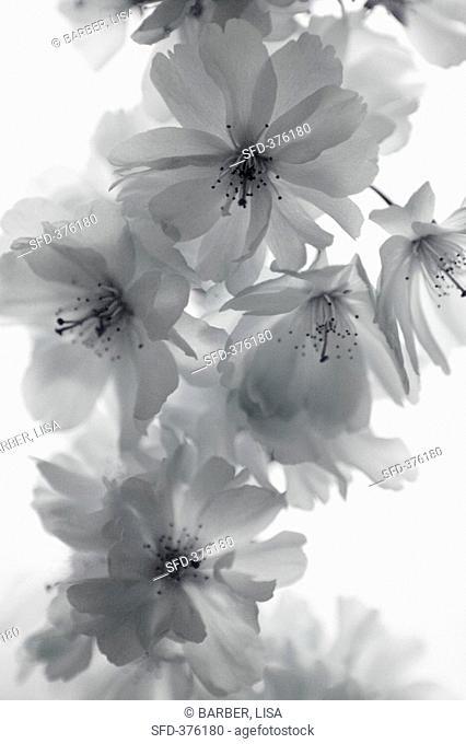 Cherry blossom black and white photo