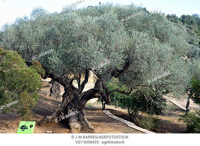 Millenary olive tree (Olea europaea europaea). Olive is a perennial tree native to Mediterranean Basin. Its fruits (olives) are edible and provides an excellent...