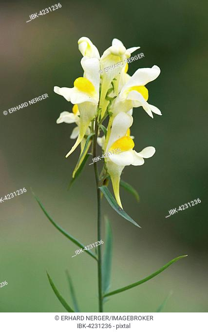 Common toadflax, yellow toadflax or butter-and-eggs (Linaria vulgaris), Emsland, Lower Saxony, Germany