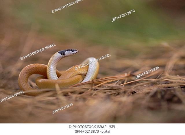 Black-headed ground snake