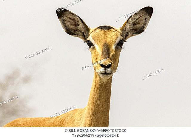 Female Impala on alert at Onkolo Hide, Onguma Game Reserve, Namibia, Africa