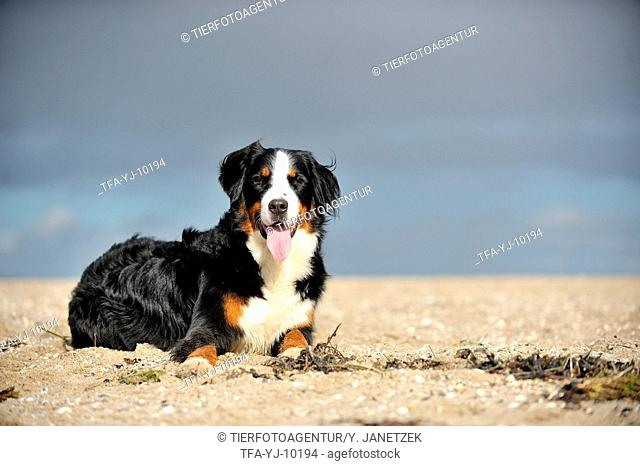 lying Bernese Mountain Dog