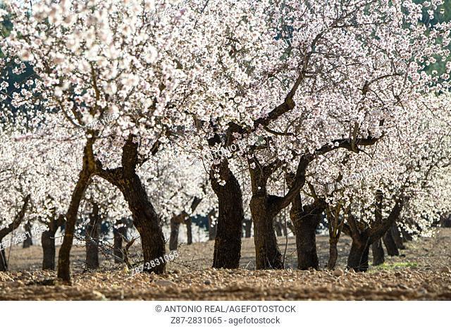 Almendros en flor. Almansa. Albacete
