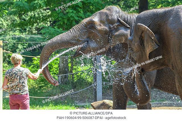 04 June 2019, Brandenburg, Cottbus: Karin Lehnert, animal keeper at Cottbus Zoo, sprays the two Asian elephants Sundali (l) and Karla with a water hose
