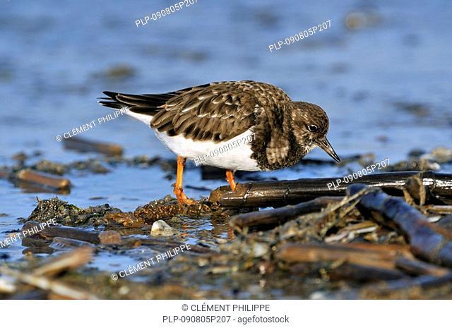 Turnstone Arenaria interpres in winter plumage foraging for Molluscson beach along landwash, Ostend, Belgium