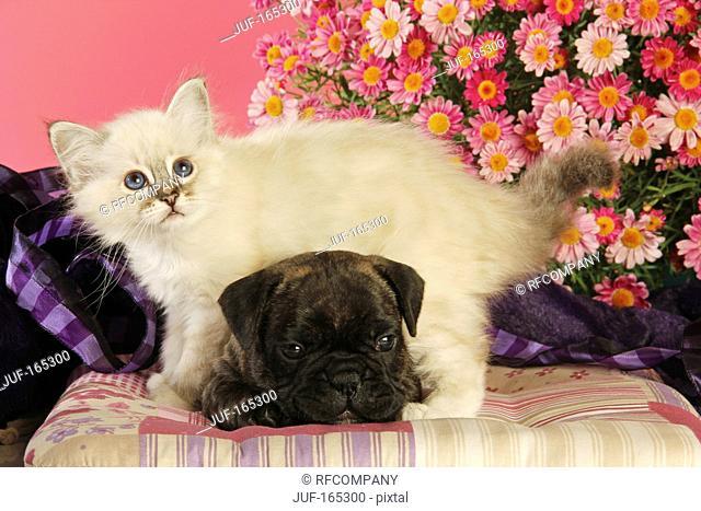 animal friendship : French Bulldog puppy and Sacred cat of Burma kitten