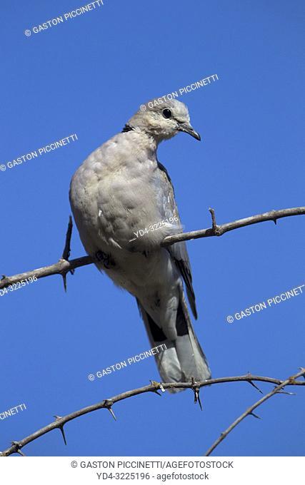 Cape Turtle Dove (Streptopelia capicola), Moremi Game Reserve, Okavango Delta, Botswana