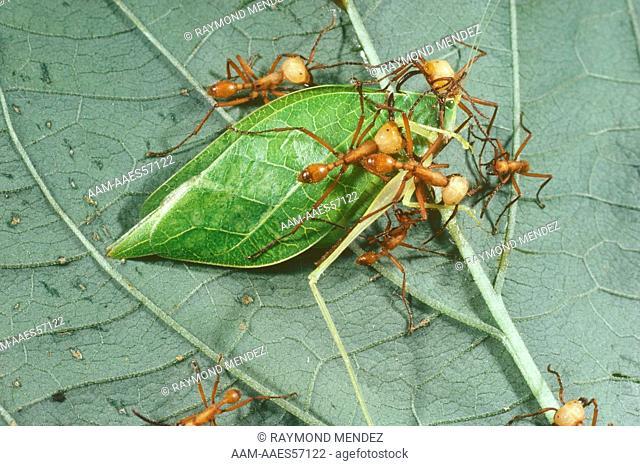 Army Ants, Soldiers on Katydid