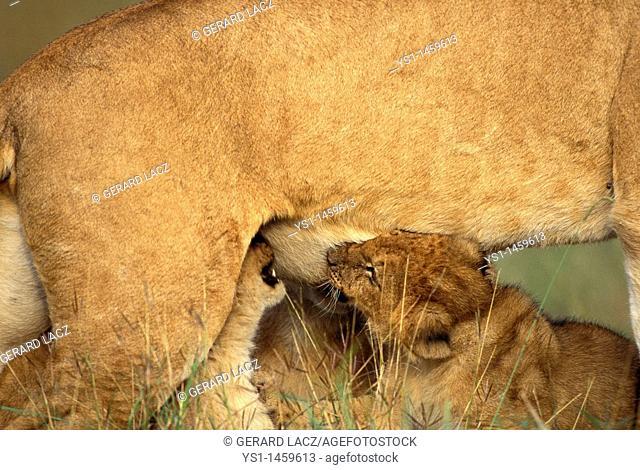 AFRICAN LION panthera leo, CUB SUCKLING, KENYA