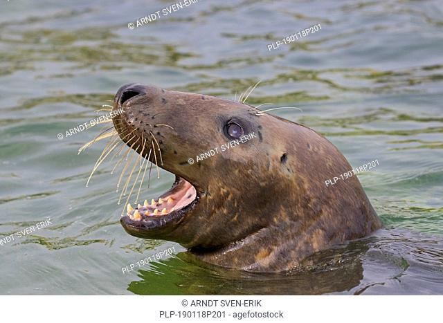 Grey seal / gray seal (Halichoerus grypus) calling while swimming in sea. Close-up of head showing large whiskers and teeth