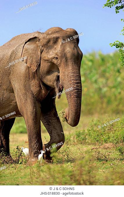 Sri Lankan Elephant, (Elephas maximus maximus), Asian Elephant, adult male feeding, Udawalawe Nationalpark, Sri Lanka, Asia