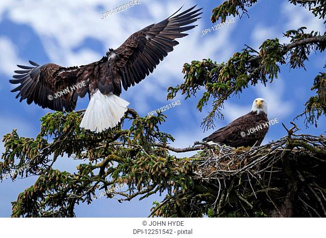 The male of a mated pair of Bald Eagles (Haliaeetus leucocephalus) lands at their nest in a sitka spruce tree in SE Alaska's Tongass National Forest near Juneau