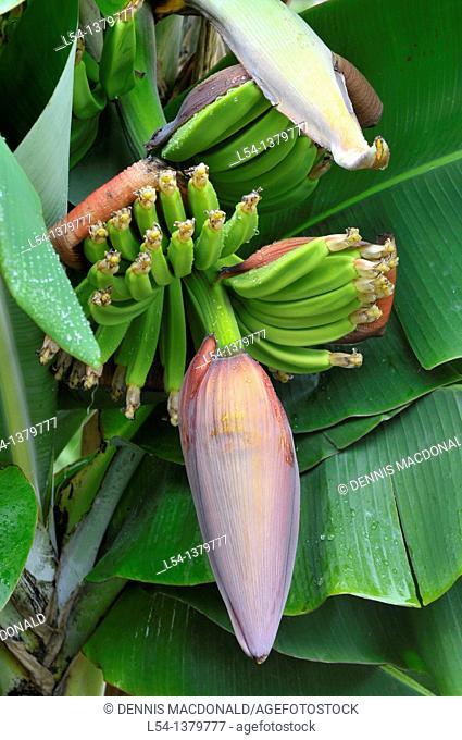 Banana Plant Tree Bridgetown Barbados Caribbean Cruise NCL