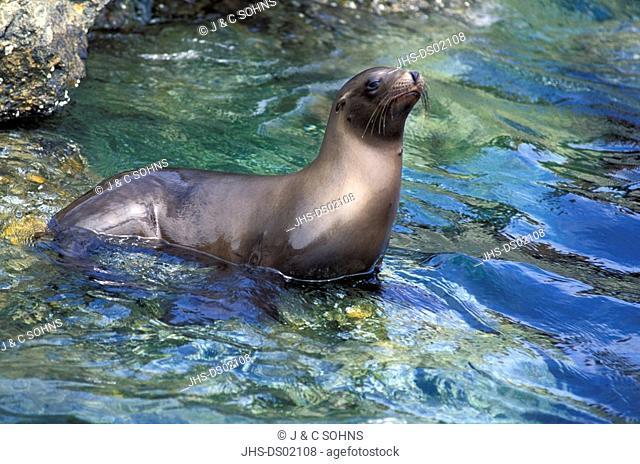 Californian Sea Lion,Zalophus californianus,California,USA,adult in water