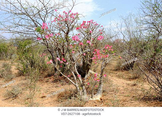 Desert rose, impala lily, mock azalea or sabi star (Adenium obesum somalense) is native to Ethiopia, Somalia and Sudan. This succulent shrub contains cardiac...